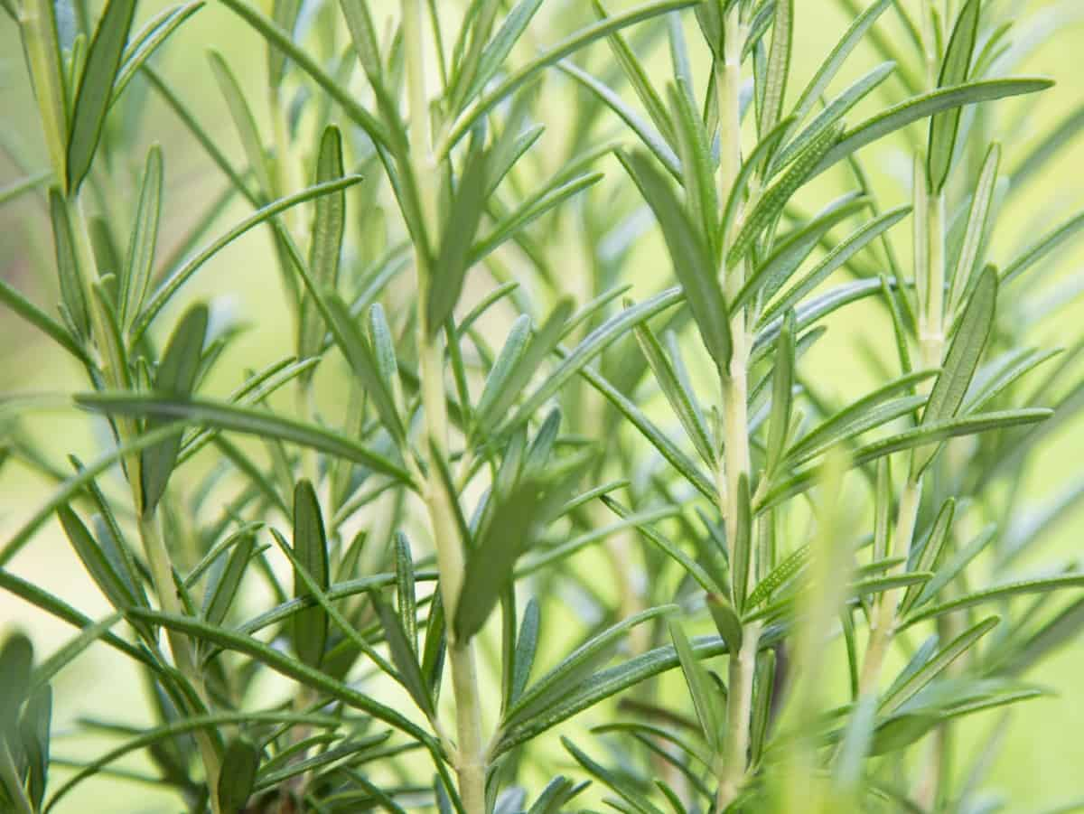 Rosemary is a prolific grower and requires periodic pruning.