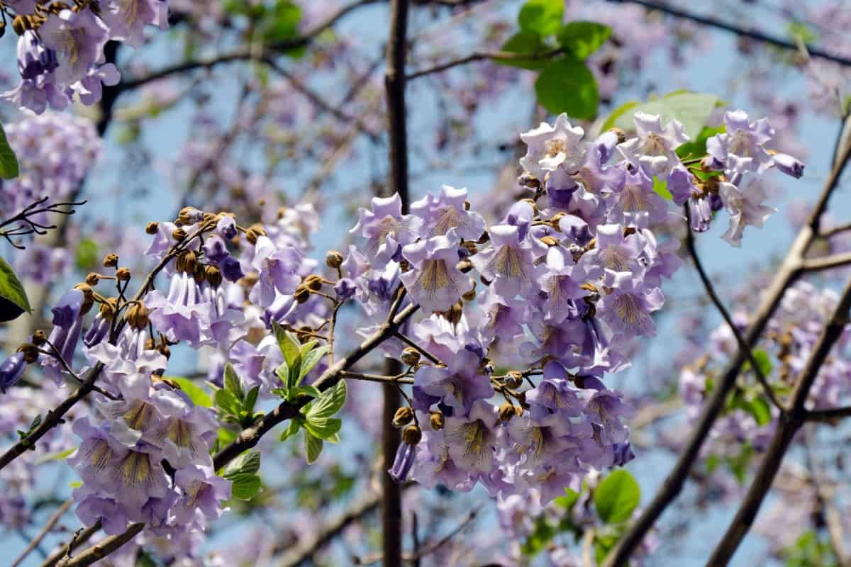 The royal empress is a gorgeous tree that is highly invasive.