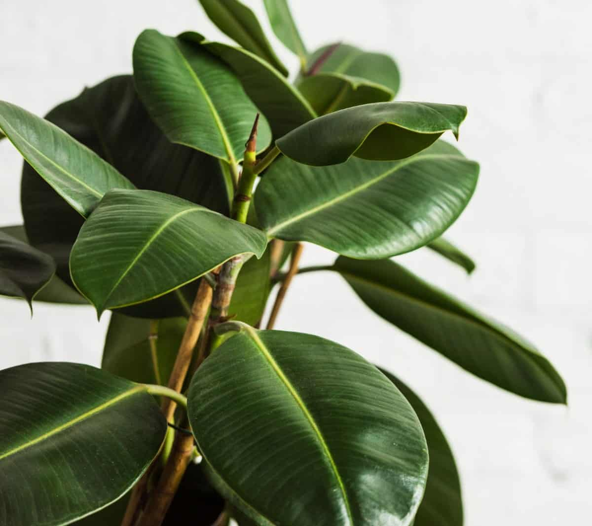 Rubber plants prefer bright light.