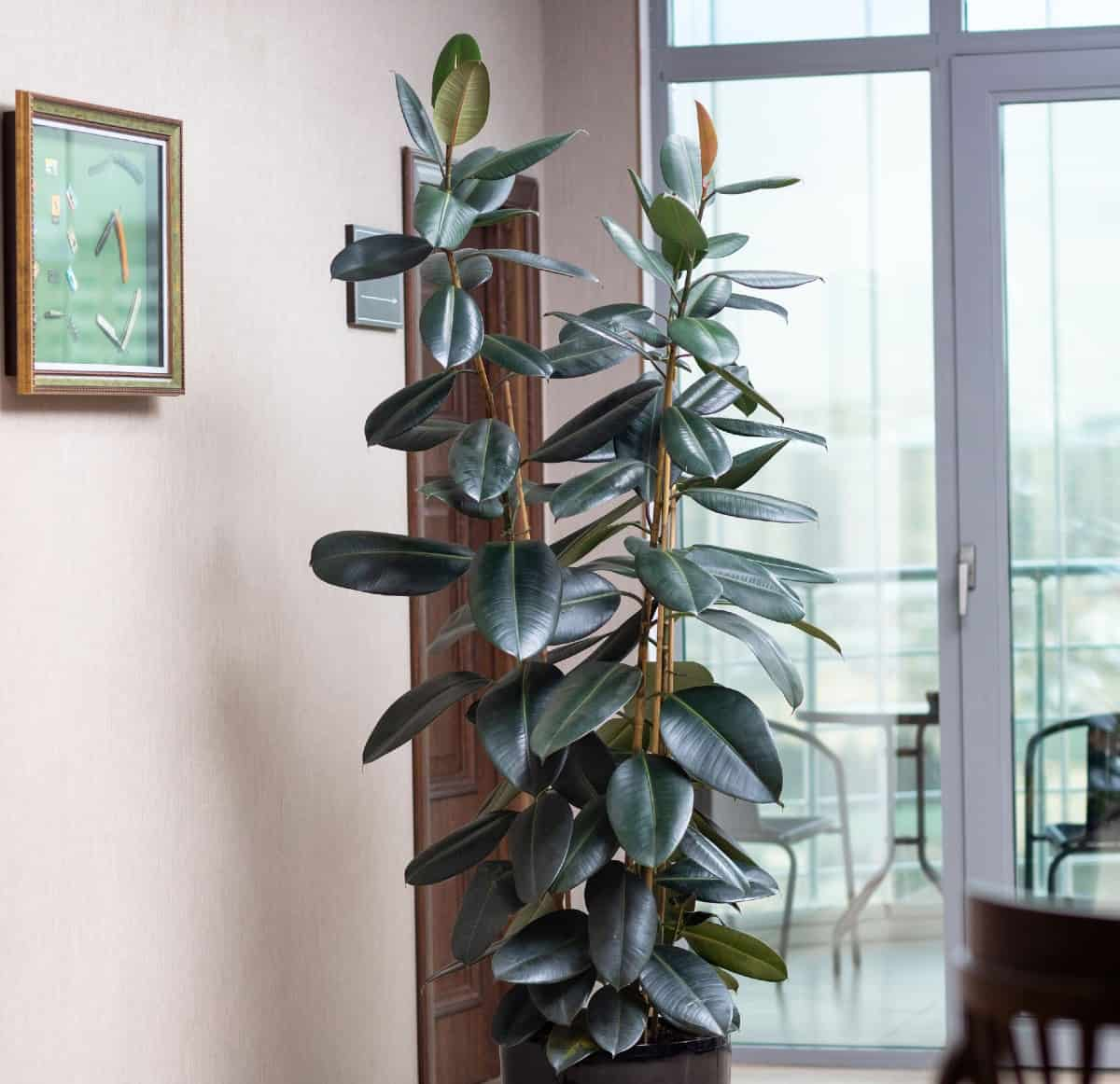 Rubber plants can grow up to ten feet tall.