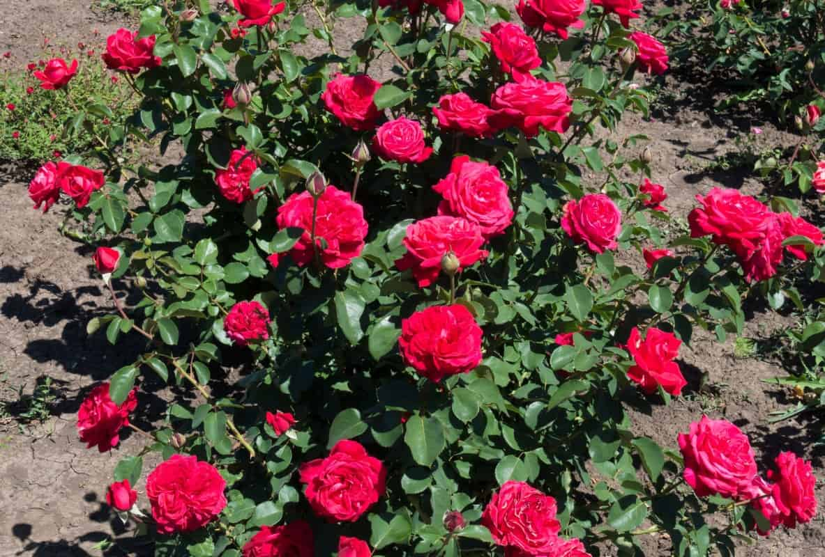 Ruby red miniature roses are the perfect edging for a flower bed.