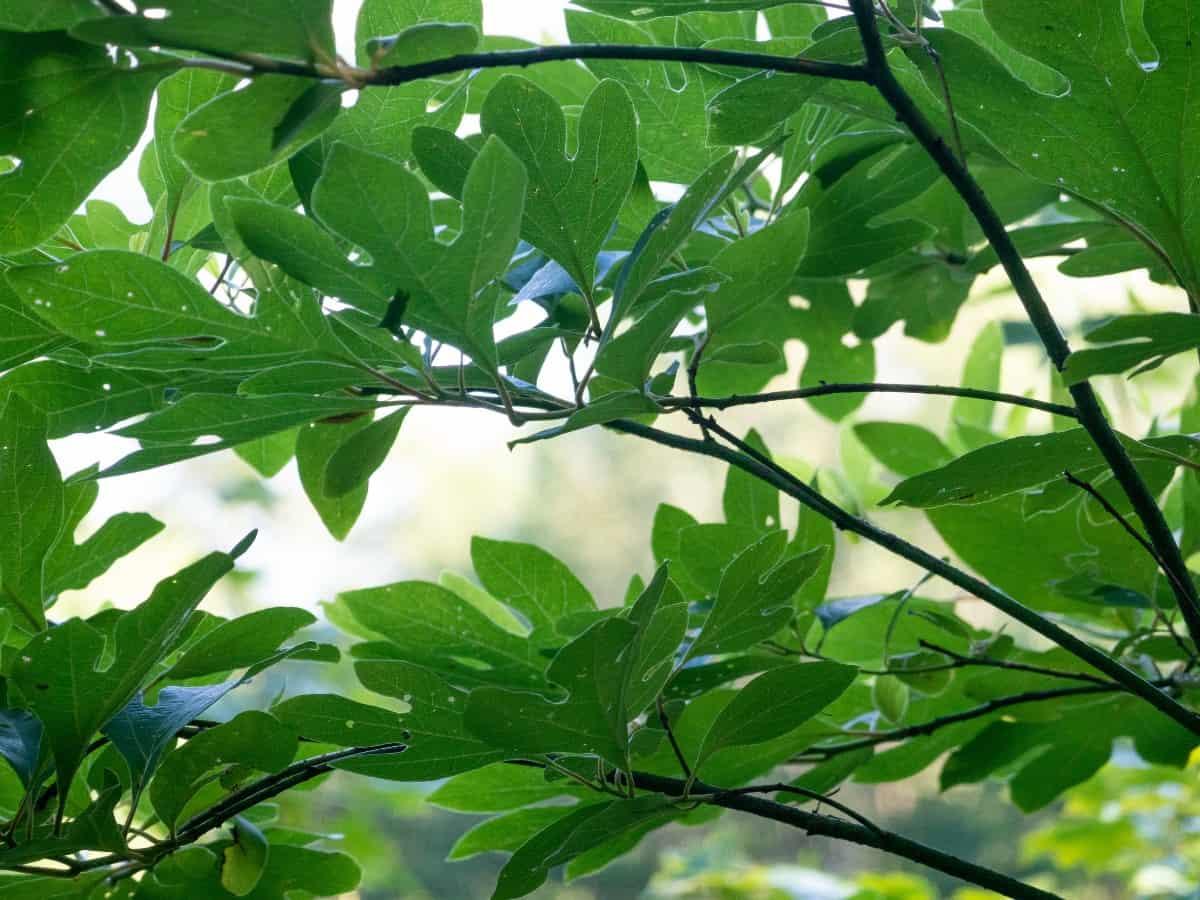 Sassafras leaves look like mittens.