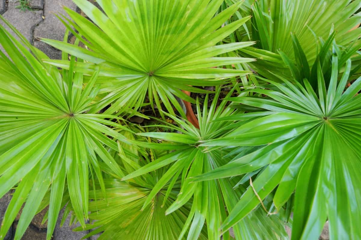 Saw palmettos can grow up to 20 feet wide.