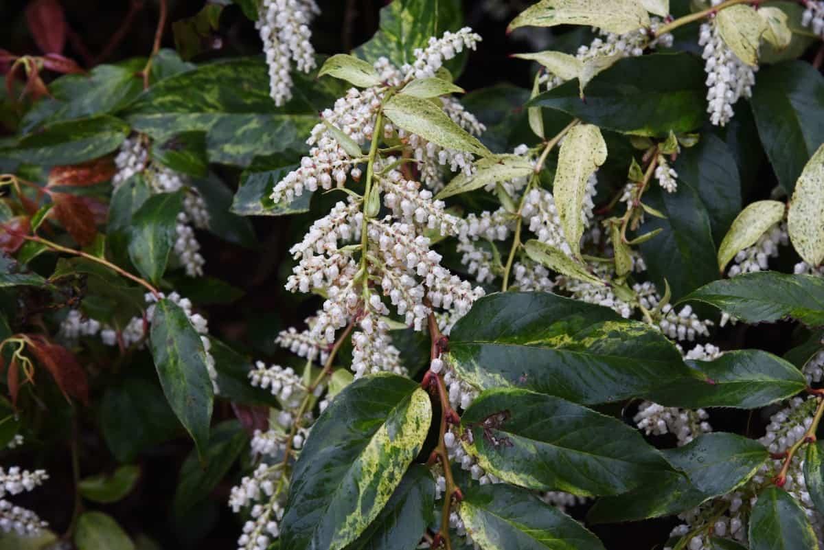 Scarletta fetterbush is an evergreen shrub that loves wet soil conditions.