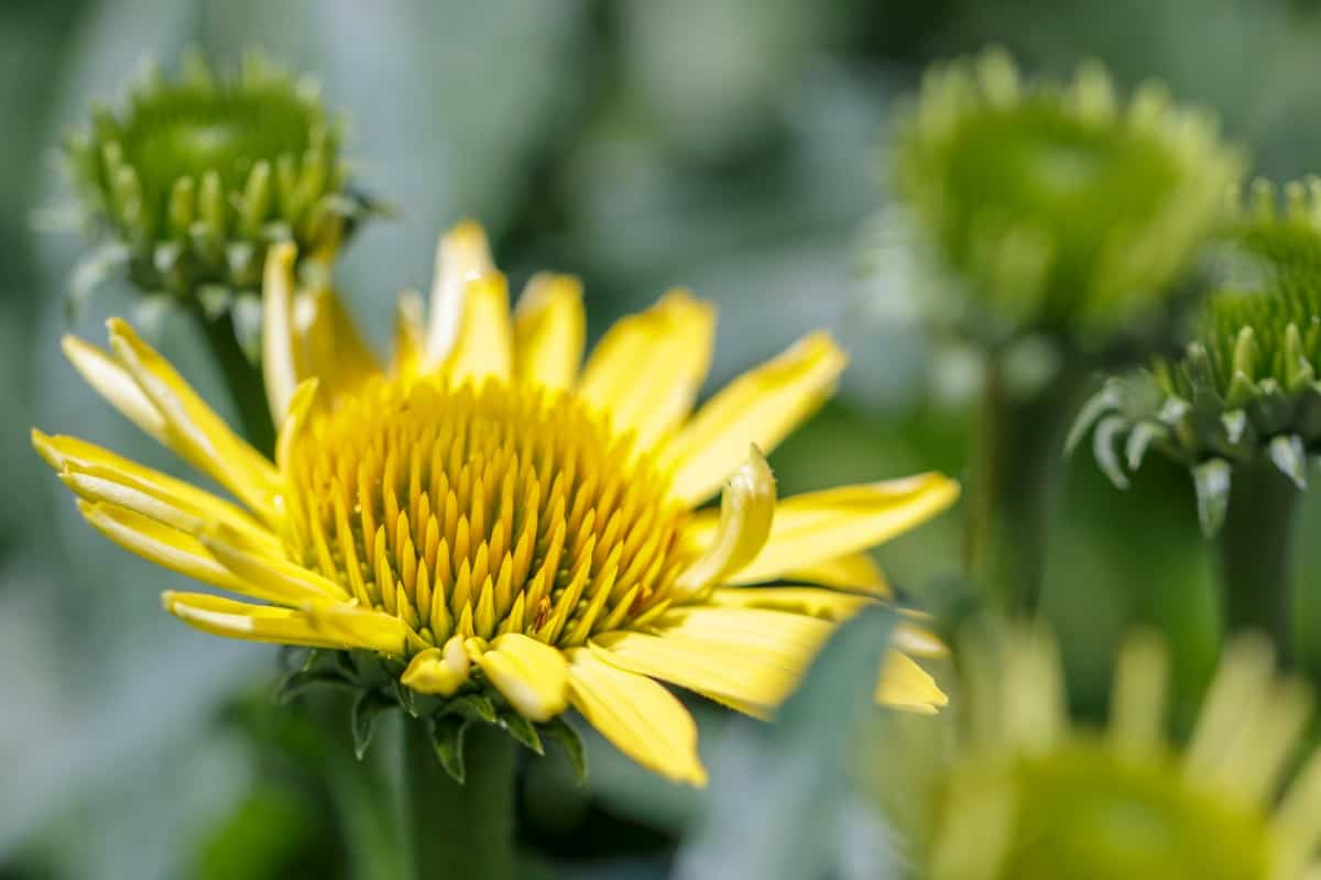 The sea oxeye daisy is a vine with pretty yellow flowers.