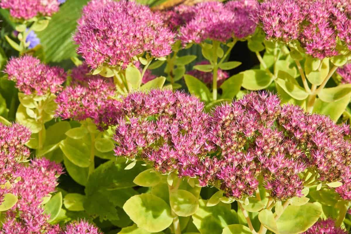 Sedum or stonecrop makes an excellent ground cover plant.