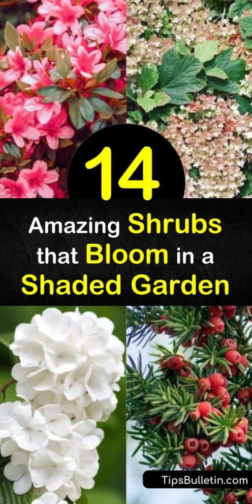 Transform your shady spots with shade loving flowering shrubs, including viburnum, azaleas, and Japanese pieris. Whether you want white flowers or yellow flowers in partial shade to full sun, there is an evergreen shrub out there for you. #shadelovingshrubs #shrubs #shade