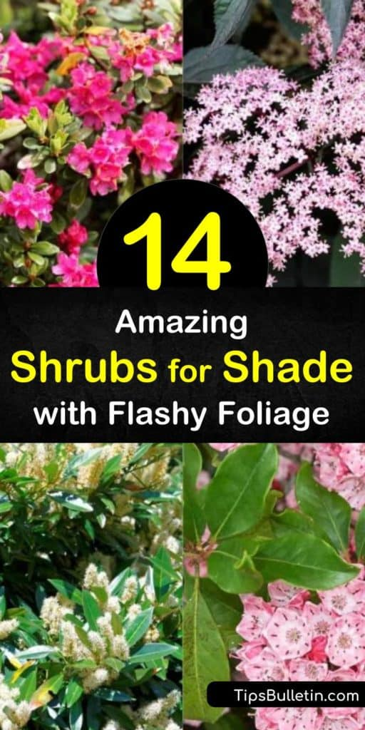 Learn how to find the perfect evergreen shrub for areas with full shade or partial shade. A flowering, evergreen shrub like viburnum or Japanese pieris have stunning pink and white flowers that thrive in any hard-to-grow location that lacks sunlight. #shade #shrubs #foliage