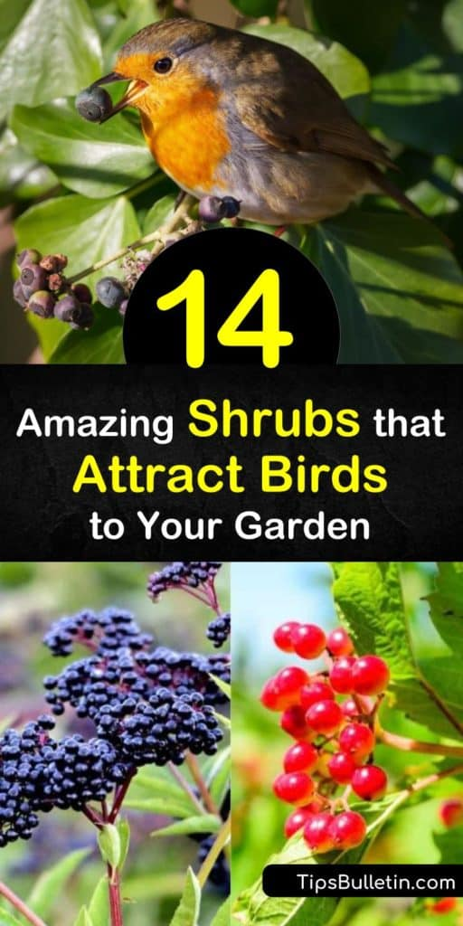 Learn which native shrubs to plant in your garden to attract more bird species like bluebirds, waxwings, woodpeckers, and various songbirds. Our list includes options like wild black berries, serviceberry, sumac, or elderberry food sources. #shrubs #attract #birds #shrubsforbirds
