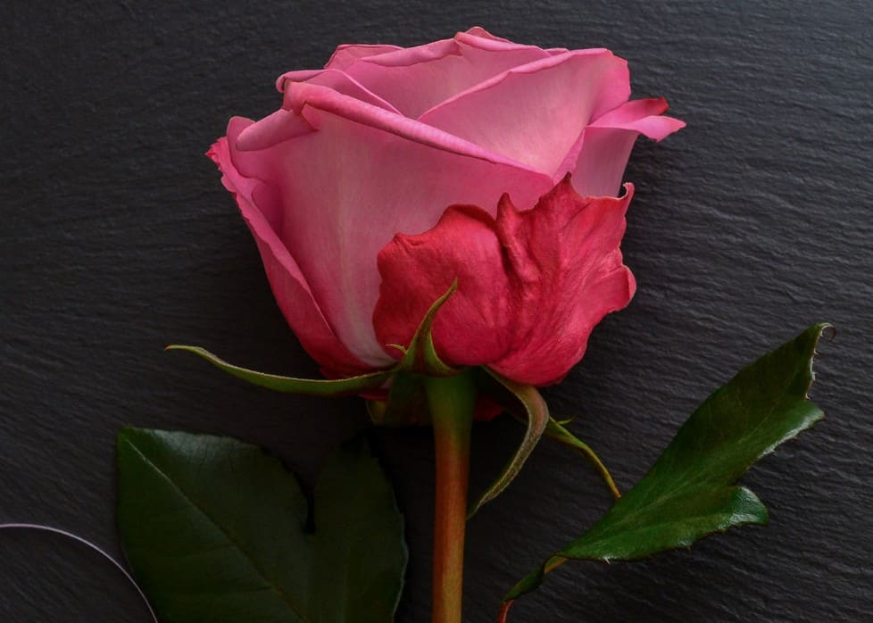 The Smooth Prince hybrid tea rose is a disease-resistant variety.