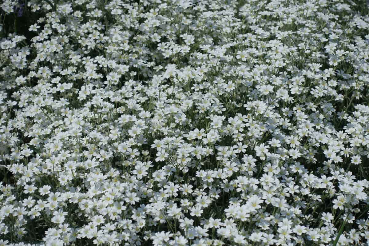 Snow-in-summer offers a beautiful white carpet of flowers.