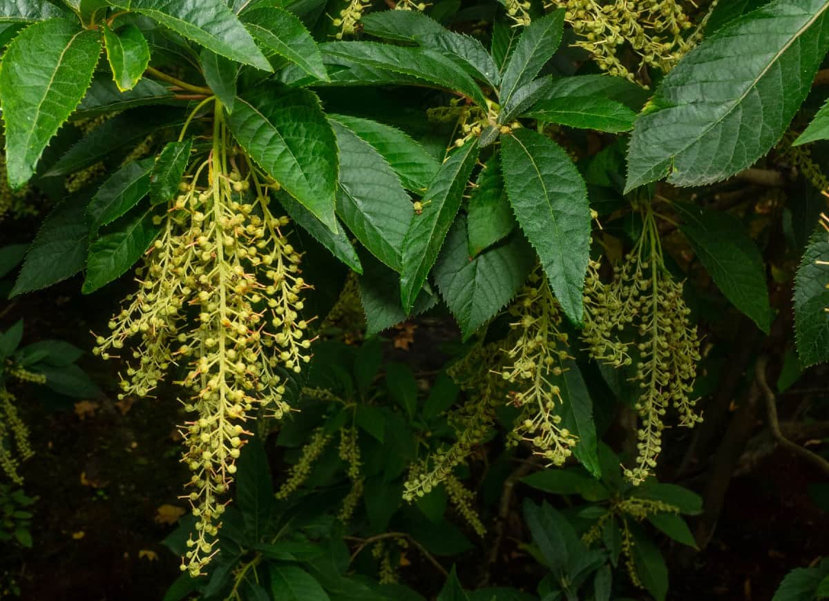The flowers of the sourwood tree look like lily-of-the-valley.