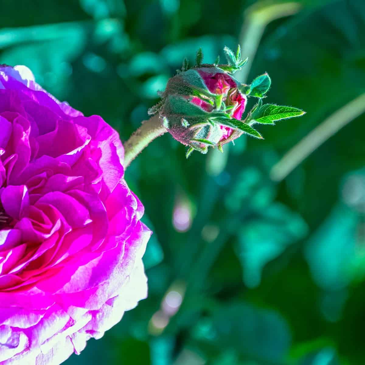 The Souvenir de Kean rose has no thorns at all.