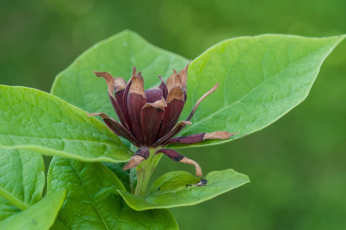 Spicebush leaves are fragrant when crushed.