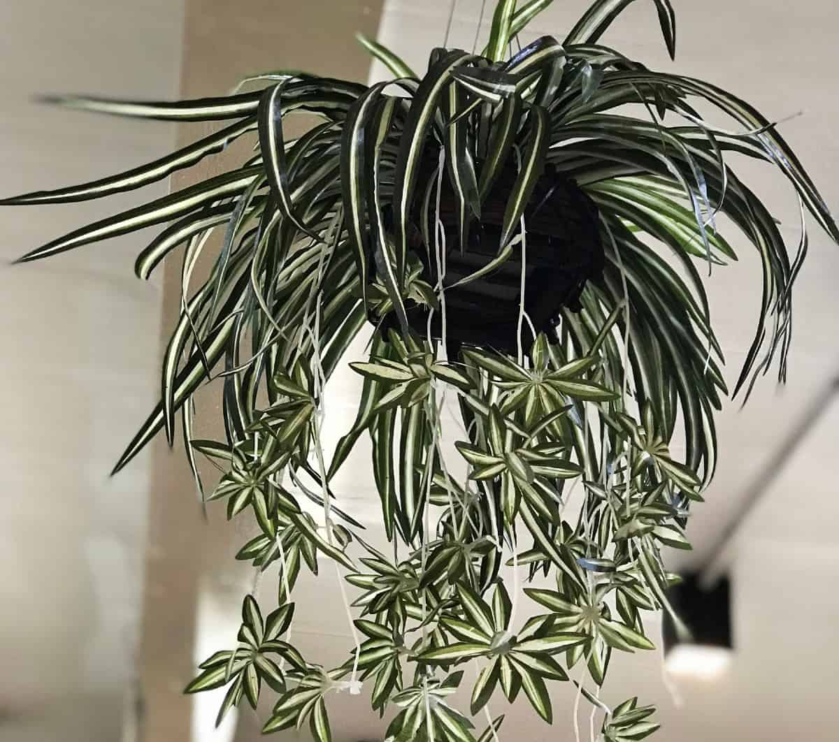 Spider plants are perfect for hanging baskets anywhere in the home.