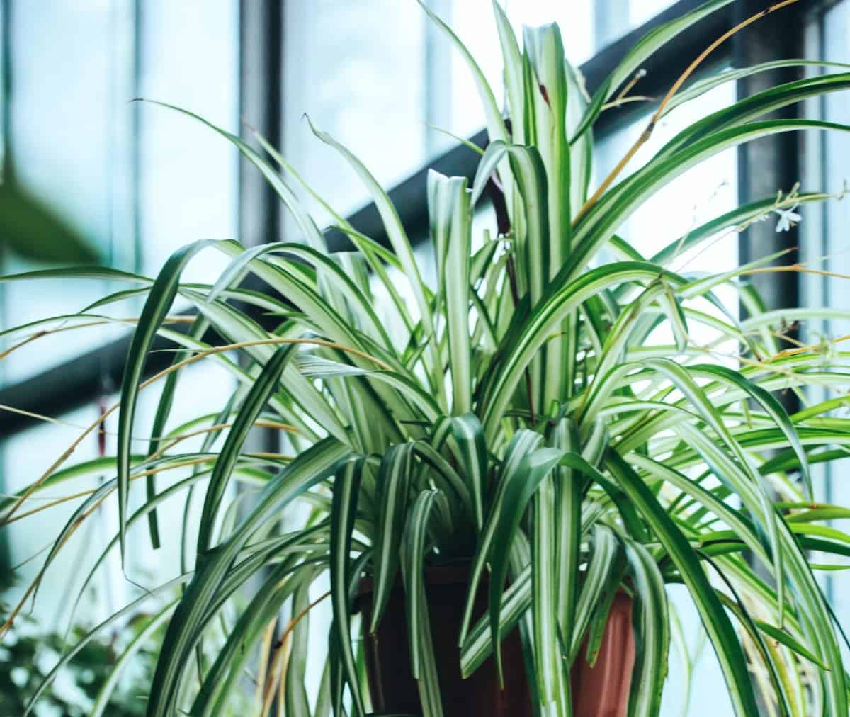 Because of the spider plant's arching habit, it makes the perfect hanging plant.