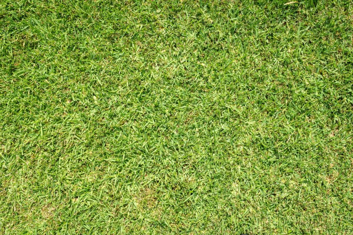 The deep root system of St. Augustine grass helps it survive in desert conditions.