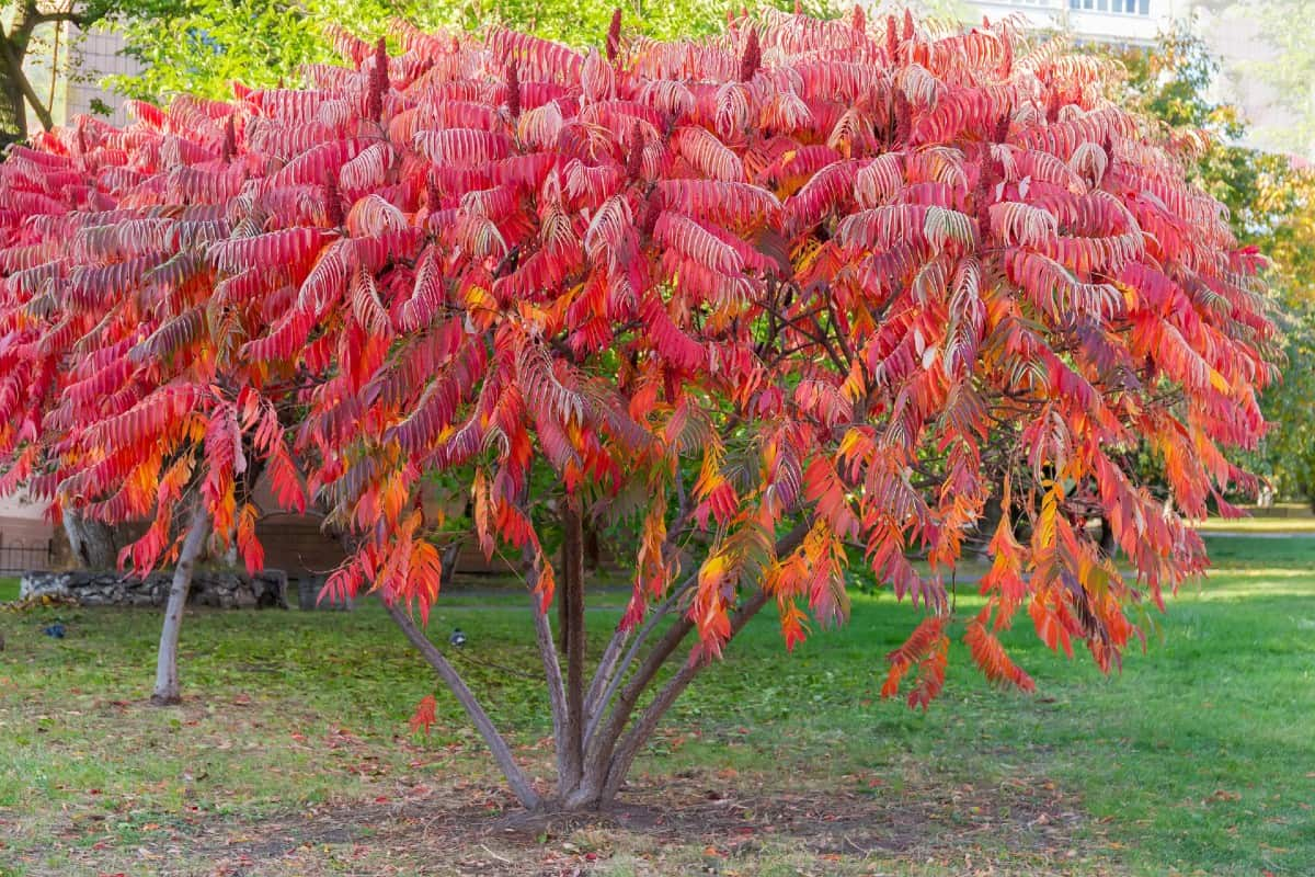 The staghorn sumac offers brilliant fall foliage.