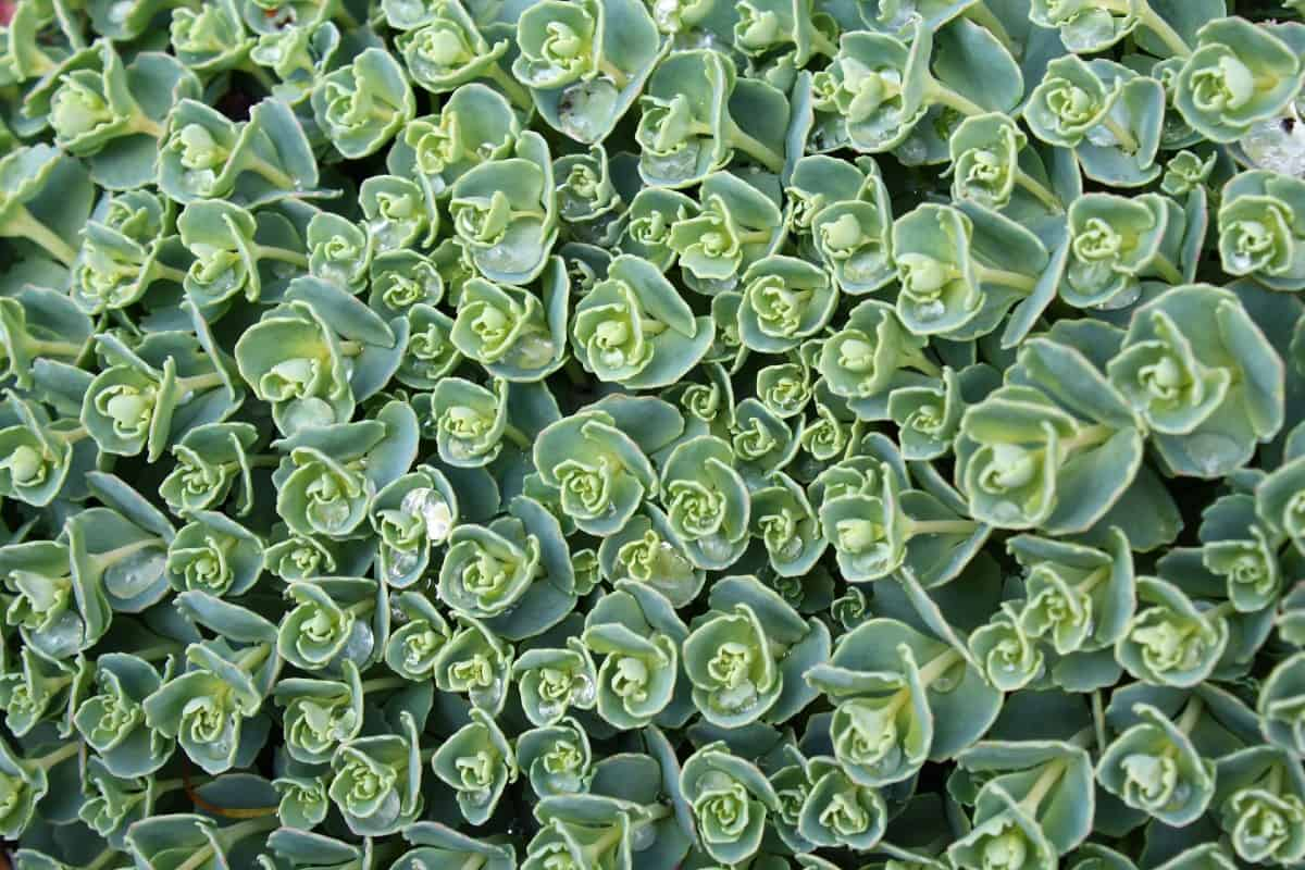Stonecrop forms a dense mat of succulent-like foliage.