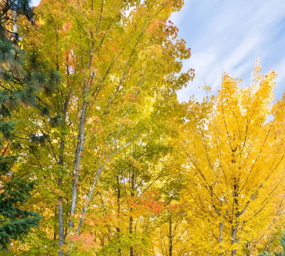The sugar maple is probably the most popular tree for spectacular fall foliage.