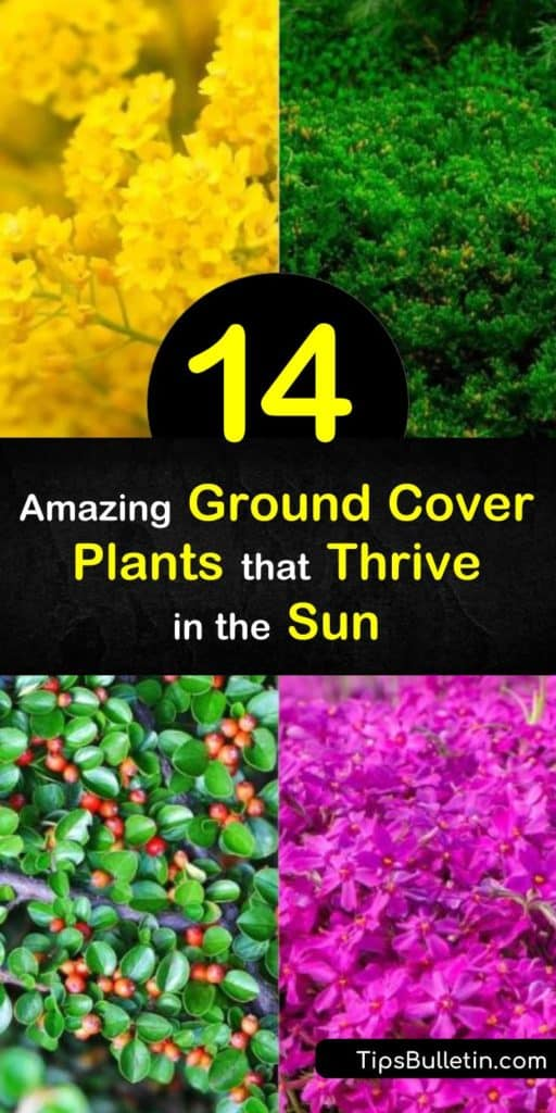 Find the perfect ground cover that thrives in the sun. Try the hardy succulent sedum for pink flowers, or enjoy the fragrance of thymus. Creeping phlox, with lovely purple flowers, and snow-in-summer, with early summer white flowers, are other excellent options. #groundcover #plants #sunloving