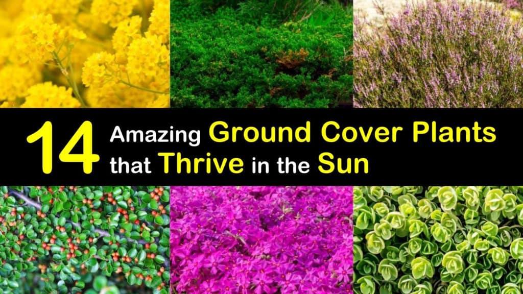 Sun Loving Ground Cover Plants titleimg1