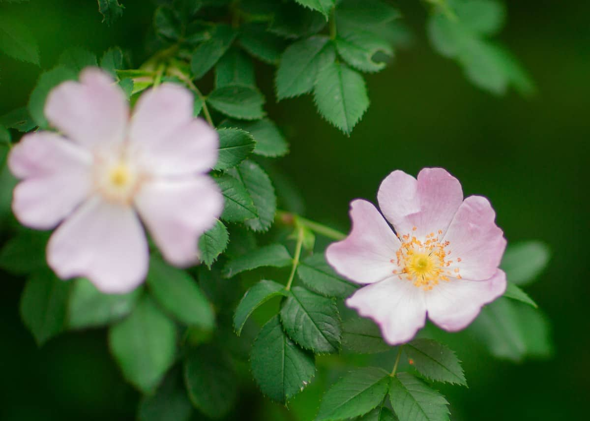 The swamp rose has no thorns and is disease-resistant.
