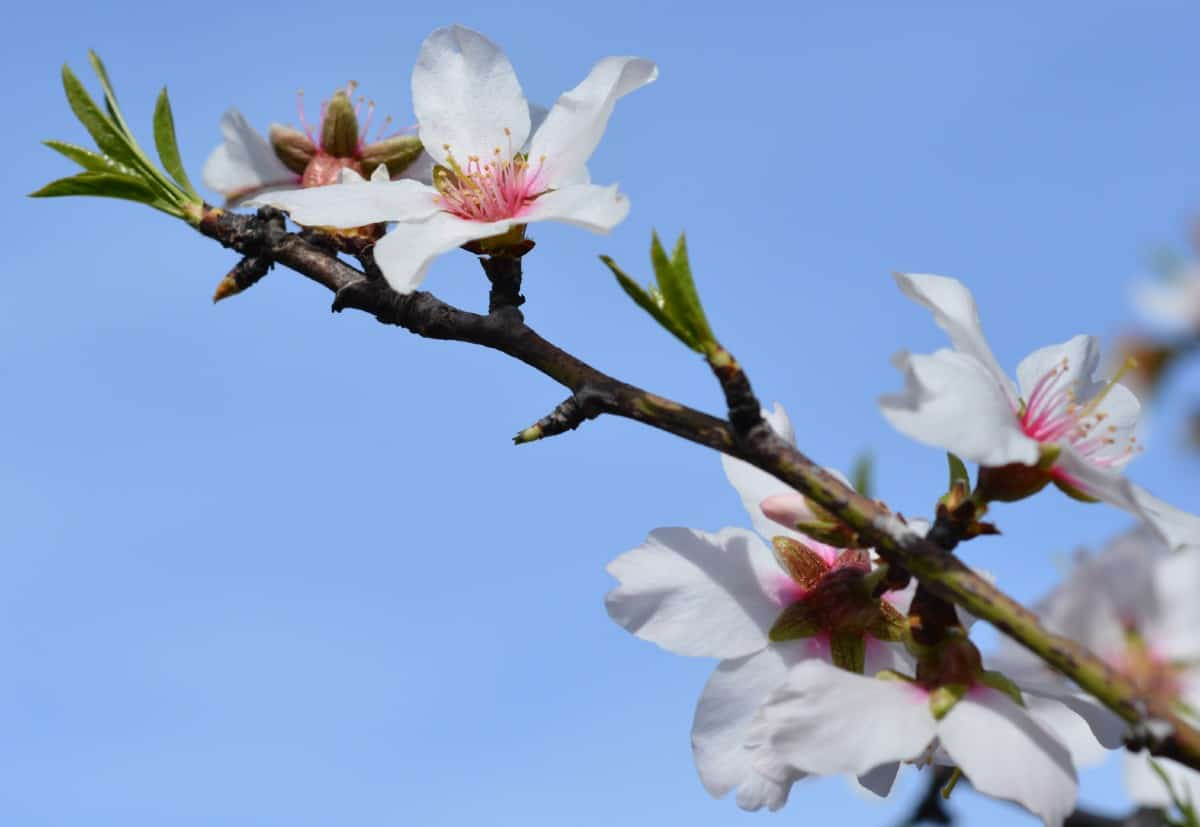 Sweet almond trees have a fragrance of honey.