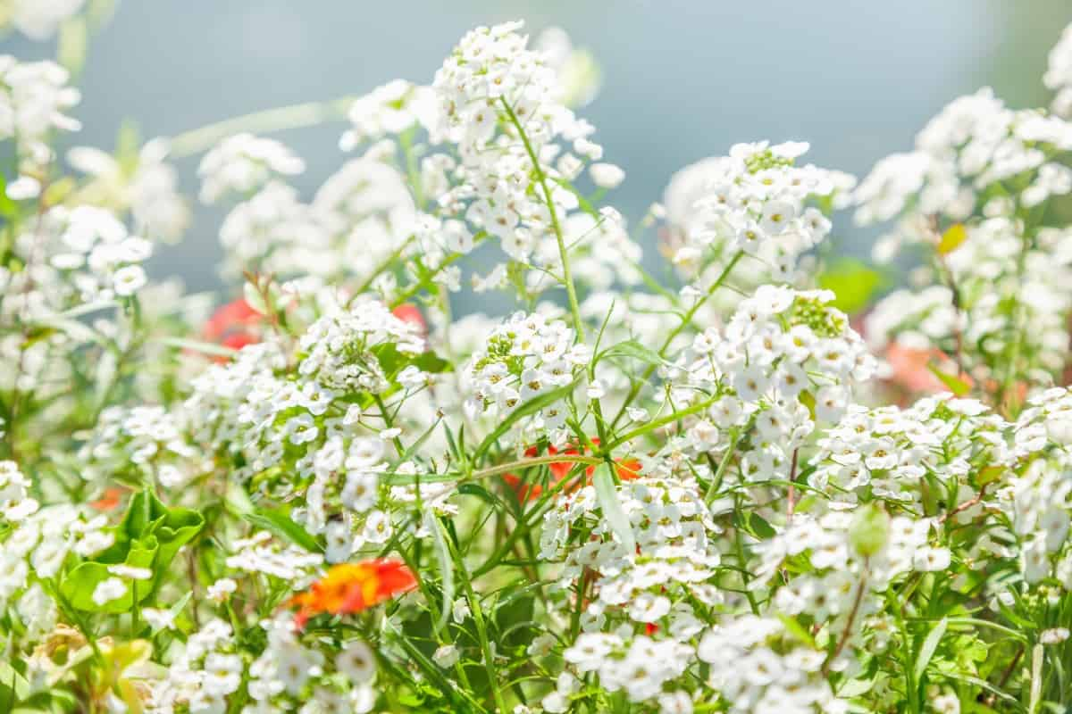 For fragrant annuals you can't do better than sweet alyssum.