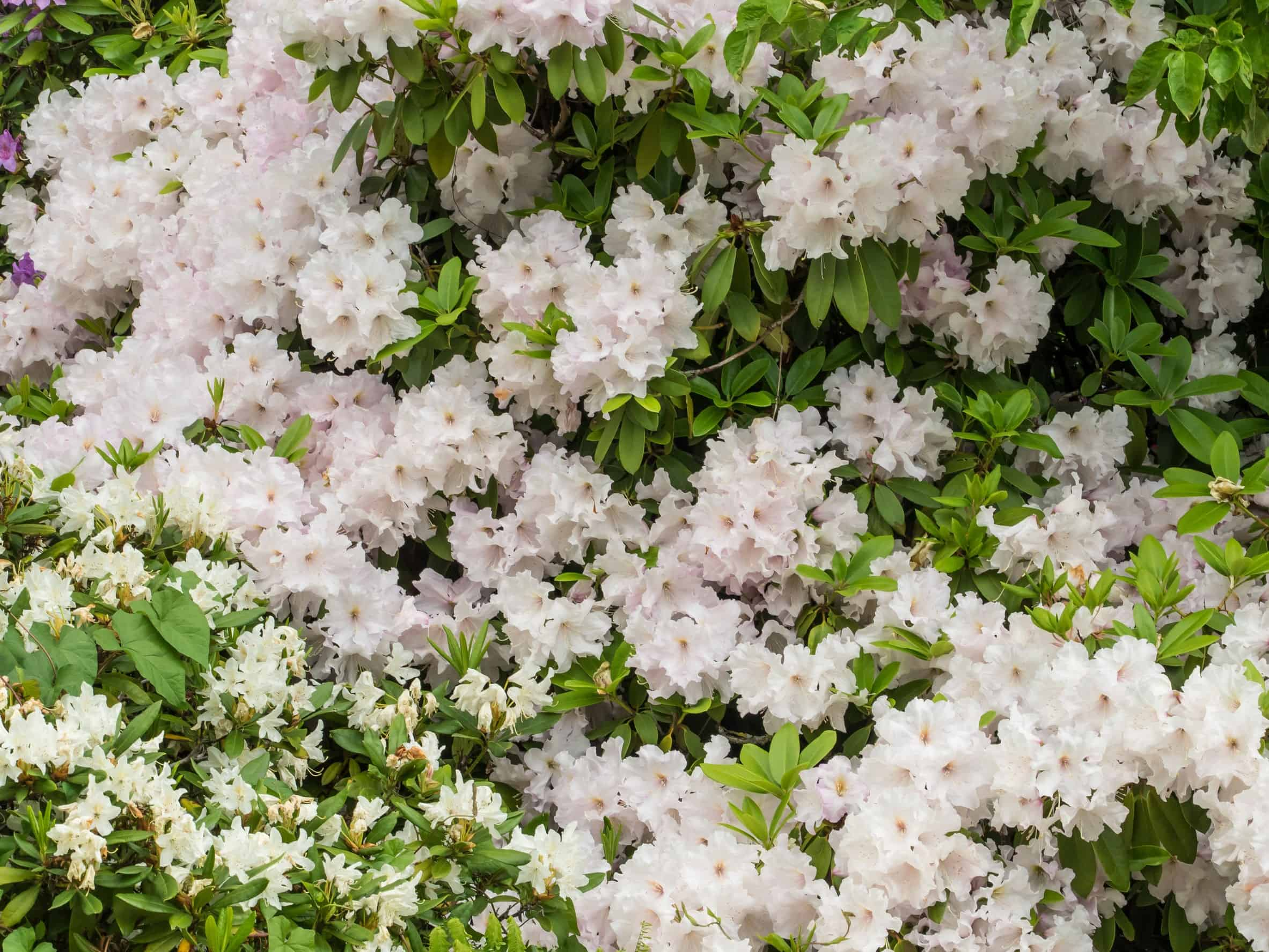The flowers of the sweet azalea are toxic if consumed.