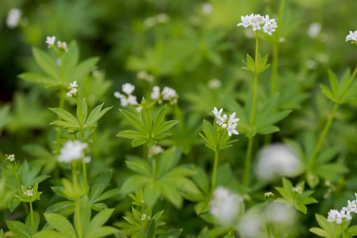 Sweet woodruff is a shade perennial that has a sweet fragrance.