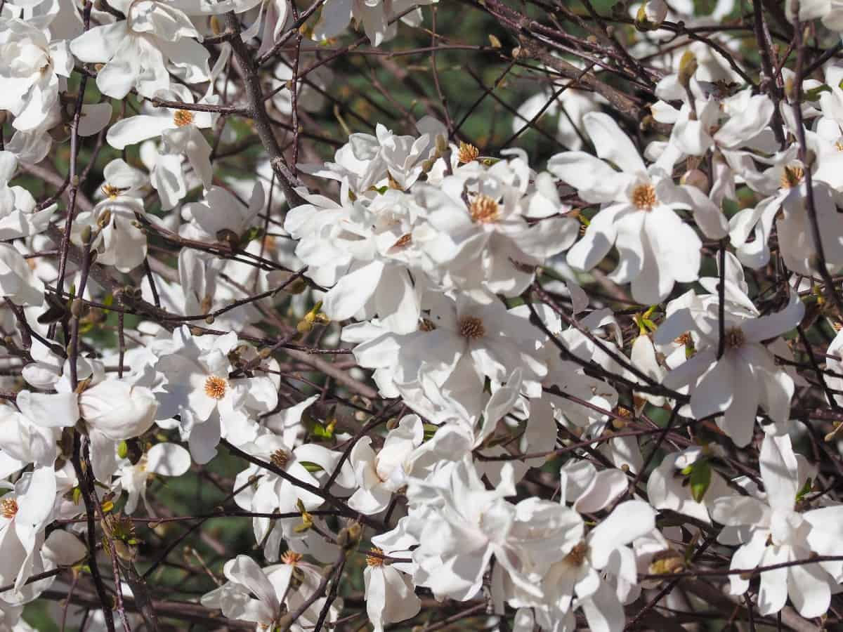 The sweetbay magnolia has creamy white flowers with a spicy fragrance.