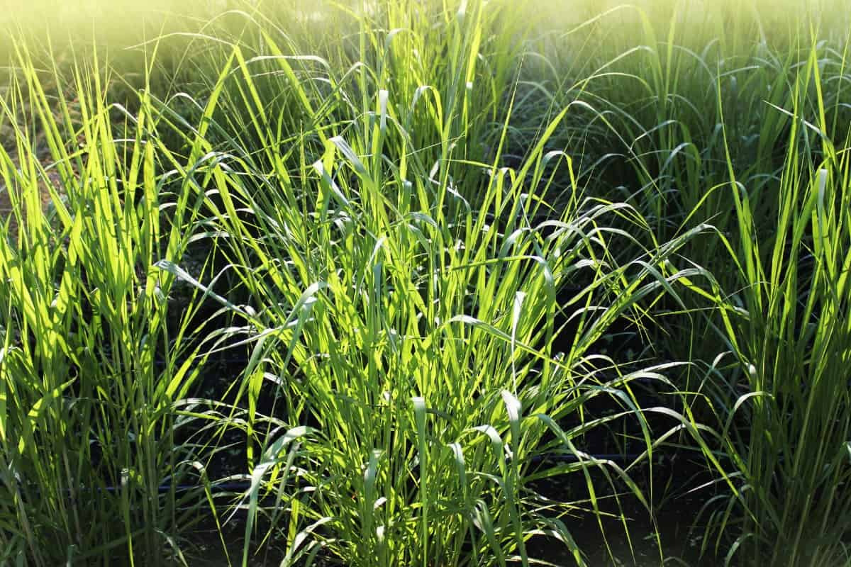 Switch grass is a small species with blue leaves and gold flowers.