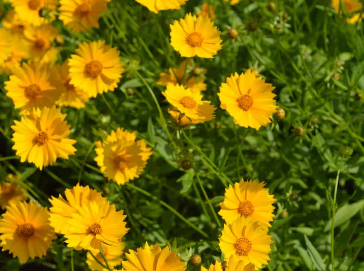 Tickseed is an annual that is low maintenance and drought tolerant.