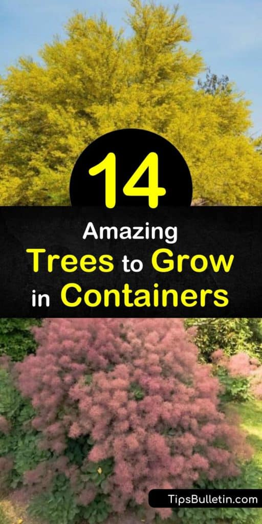 Planting small trees in large containers is a way to liven up small spaces.Whether you are planting fig trees, conifers, or citrus trees use a good potting soil and ensure the containers have drainage holes so the root system doesn't rot. #conatinertrees #trees #containers #tree #smallspace