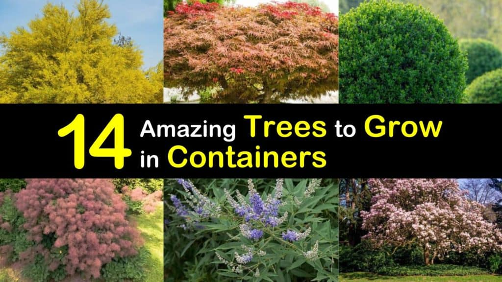 Trees to Grow in Containers titleimg1