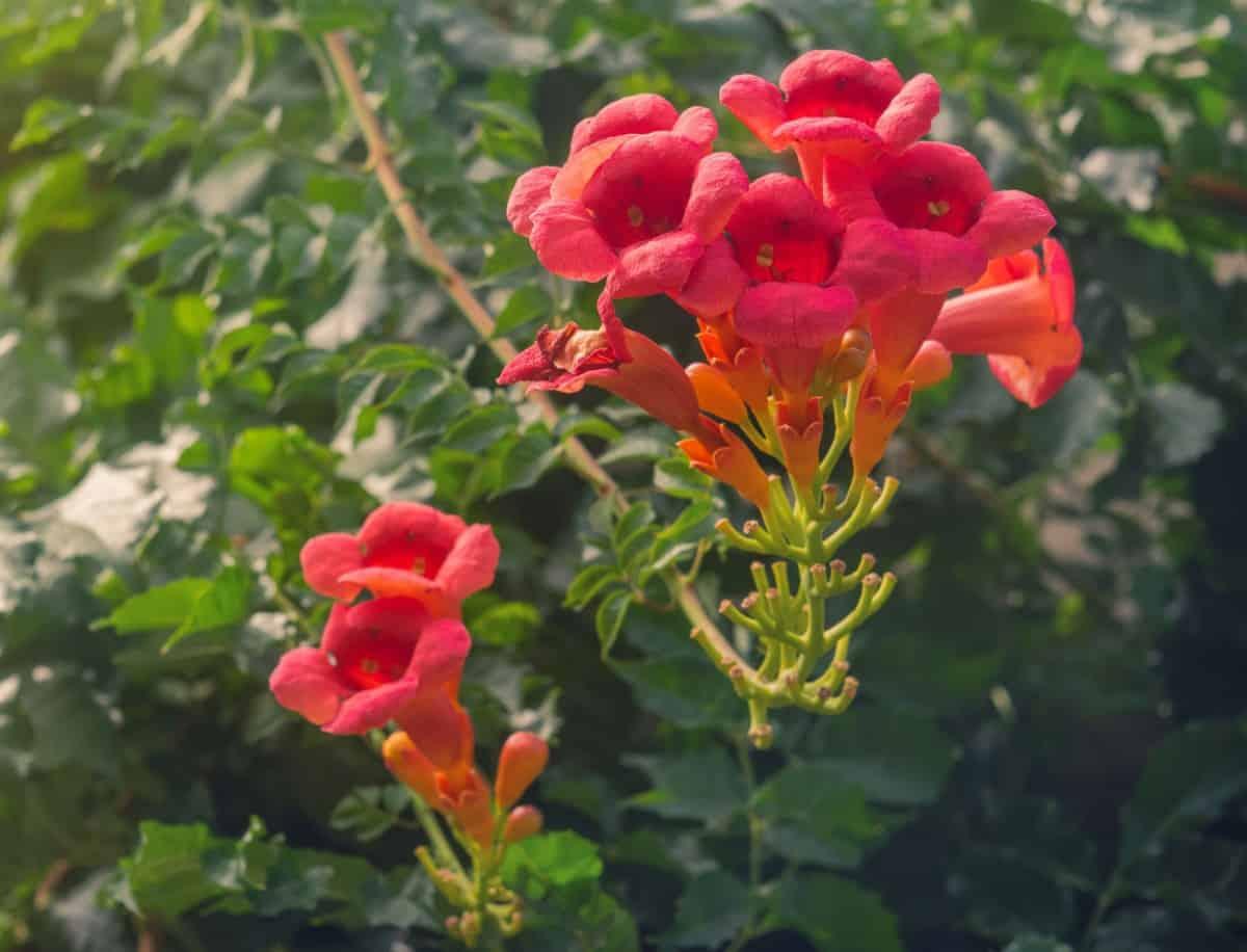 Hummingbirds love the trumpet vine.