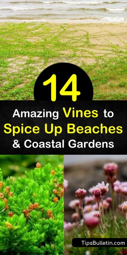 The beach is good for more than suntanning and pick up volleyball. Discover vines for the beach that you can grow at home. Beach morning glory, trailing wild bean, sea oxeye daisy, and more add color and excitement to your yard. #vines #beaches #beachplants