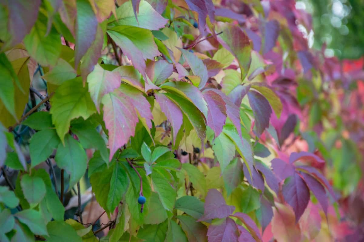 The leaves of the Virginia creeper turn red in fall.