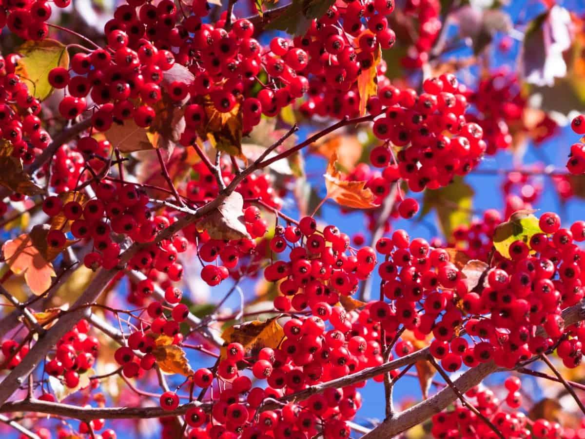 Washington hawthorn trees are drought tolerant.