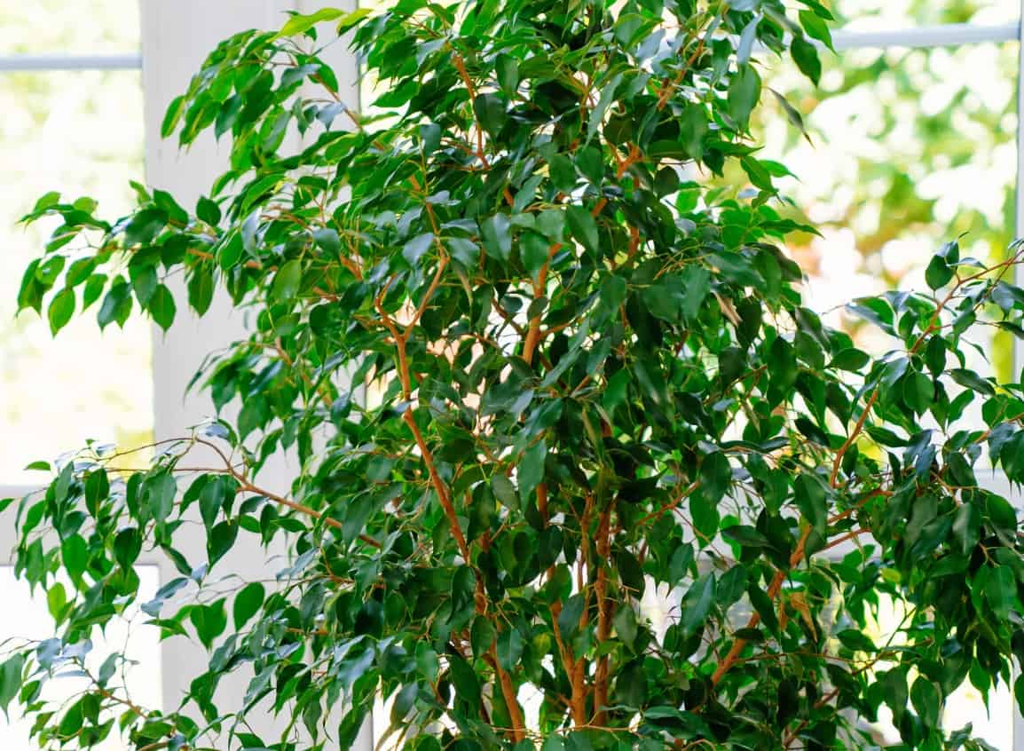 The weeping fig or ficus is a broadleaf evergreen plant.