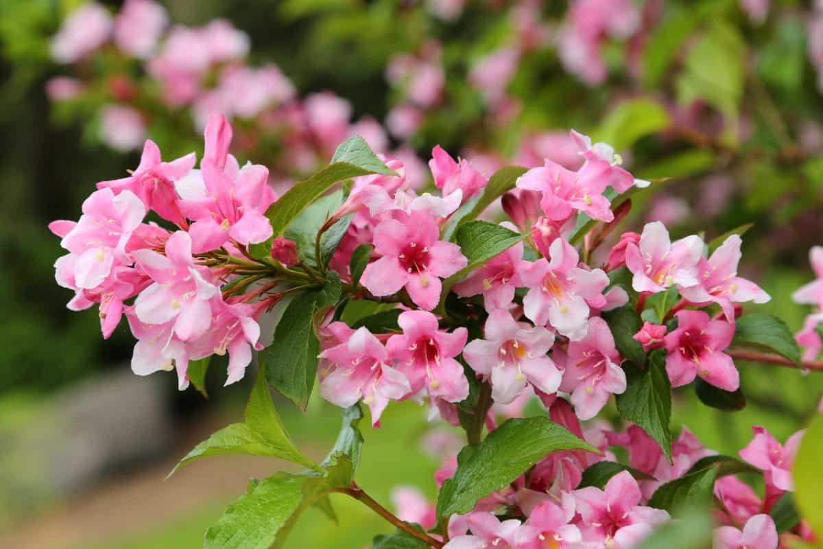 Weigela has nectar that pollinators love.