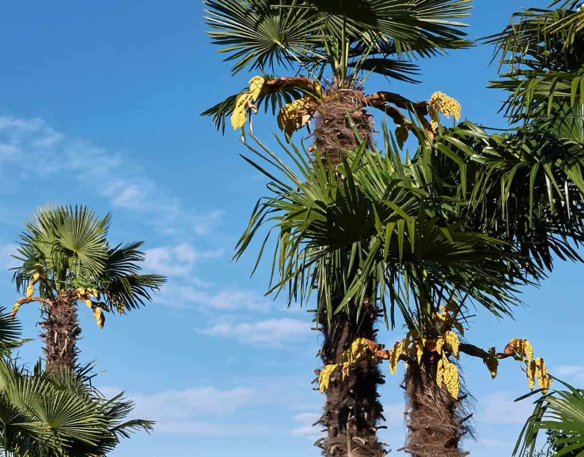 The windmill palm can handle freezing temperatures.