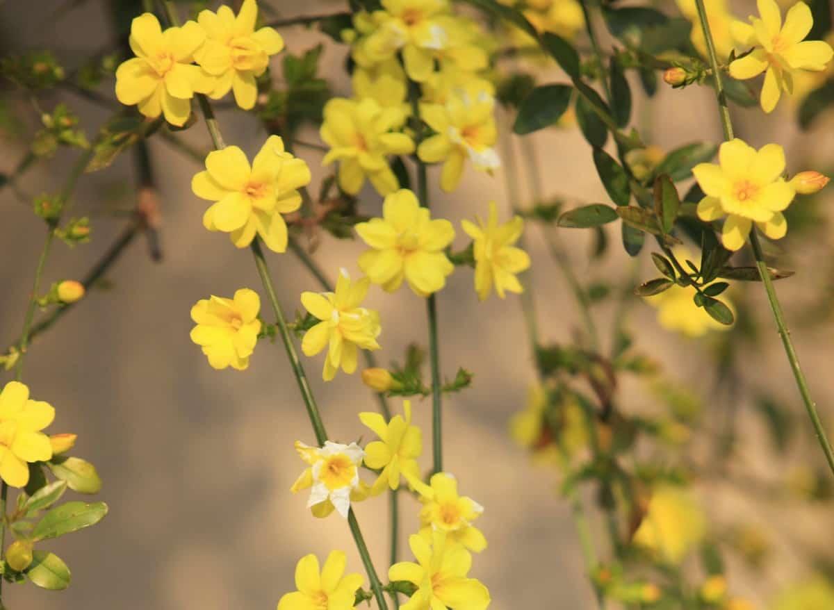 Winter jasmine begins blooming as early as January.