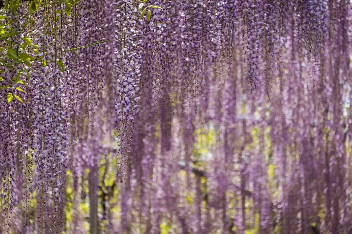 Wisteria is available as a tree or a vine.