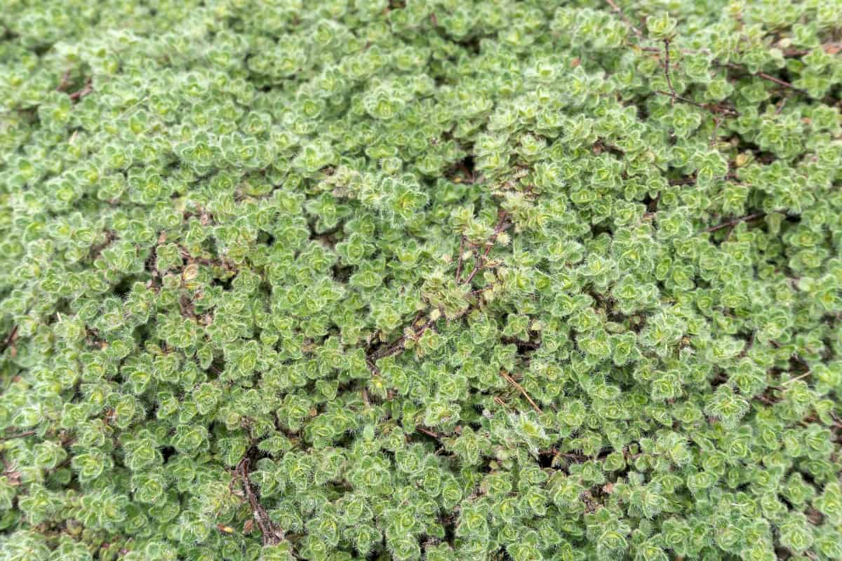 Woolly thyme fits perfectly in cracks between pavers.
