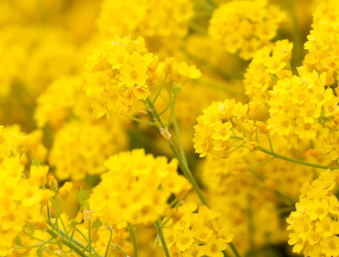 Yellow alyssum is part of the mustard family.