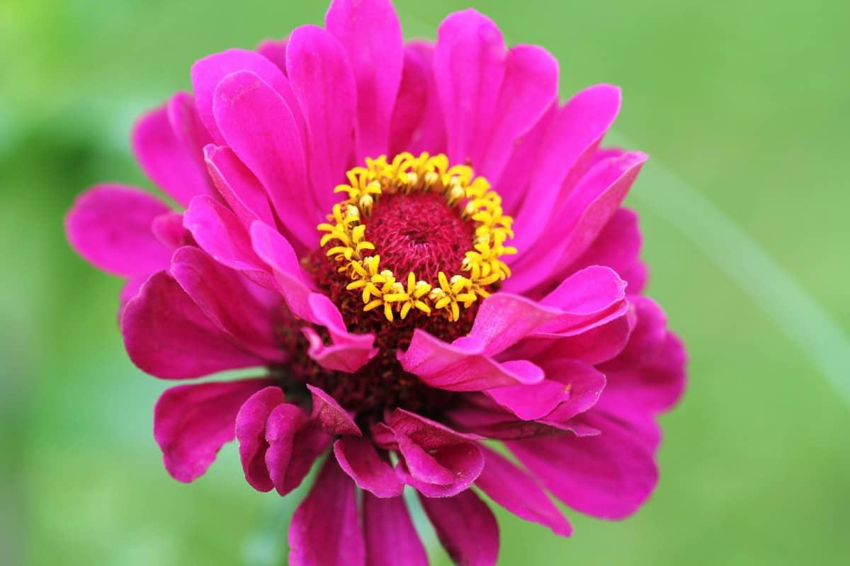 Zinnias are hardy flowers that pollinators love.