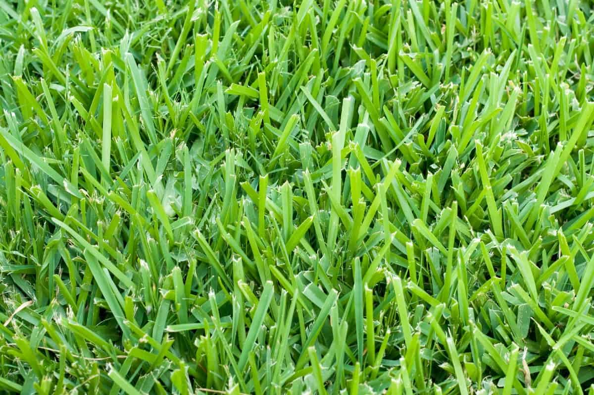 Zoysia grass loves the hot and dry conditions found in the desert.