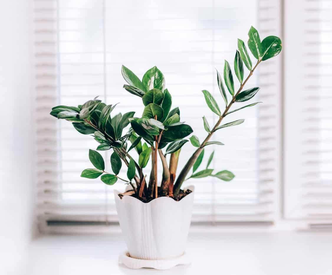 The ZZ plant is a slow-grower.